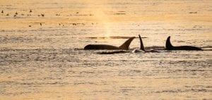 Southern Resident Killer Whales Salish Sea