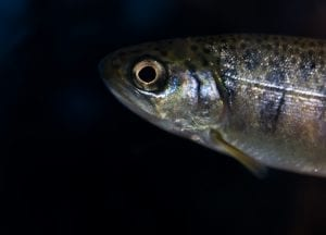 Chinook Salmon Salish Sea