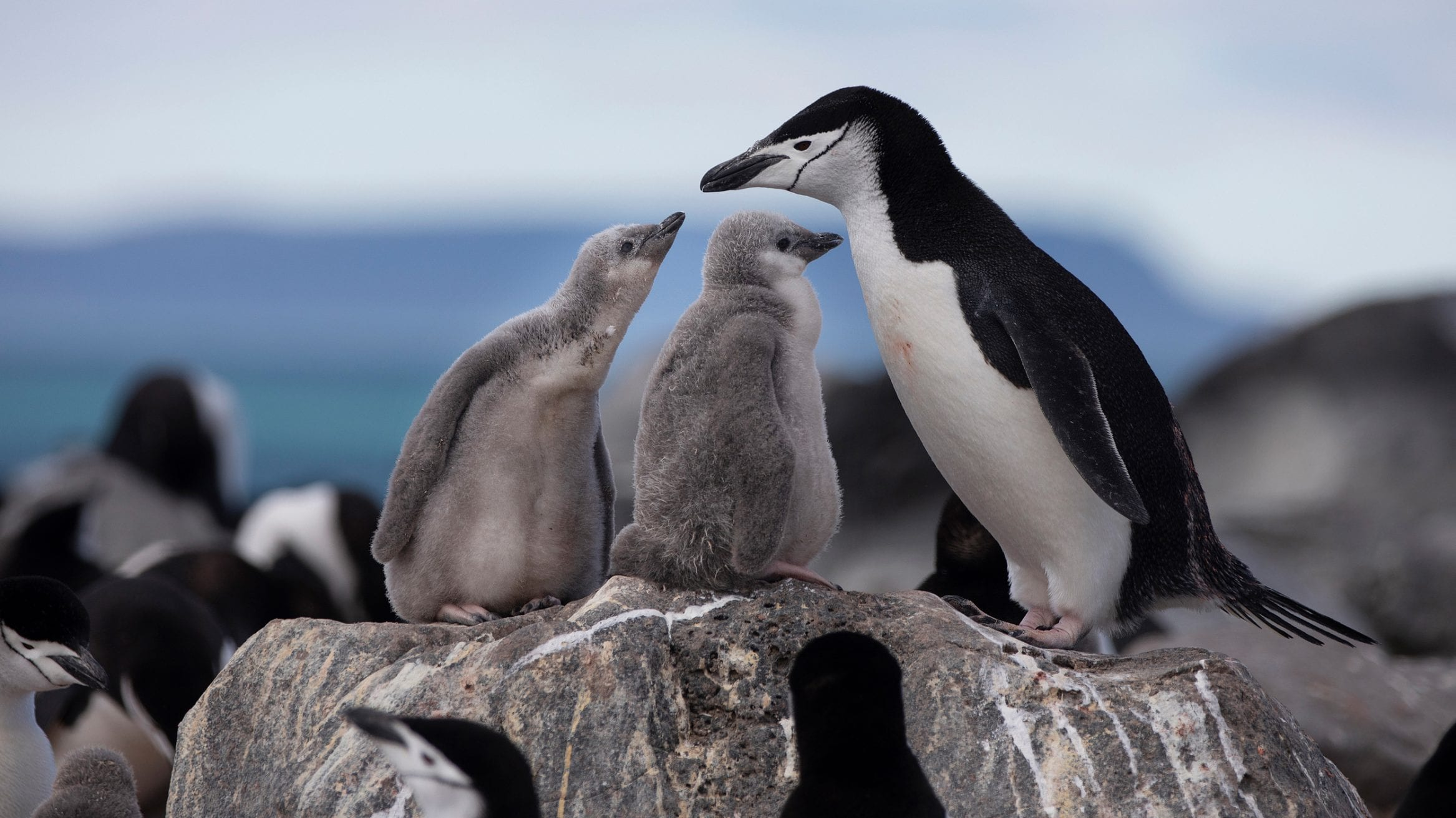 chinstrap penguins Greenpeace