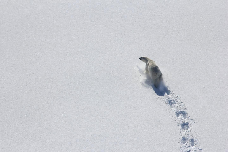 polar bears baffin bay