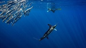 Striped marlin Jay Clue underwater photographer