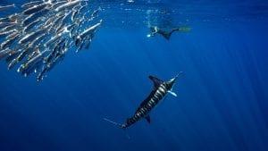 Striped marlin Jay Clue underwater photographer