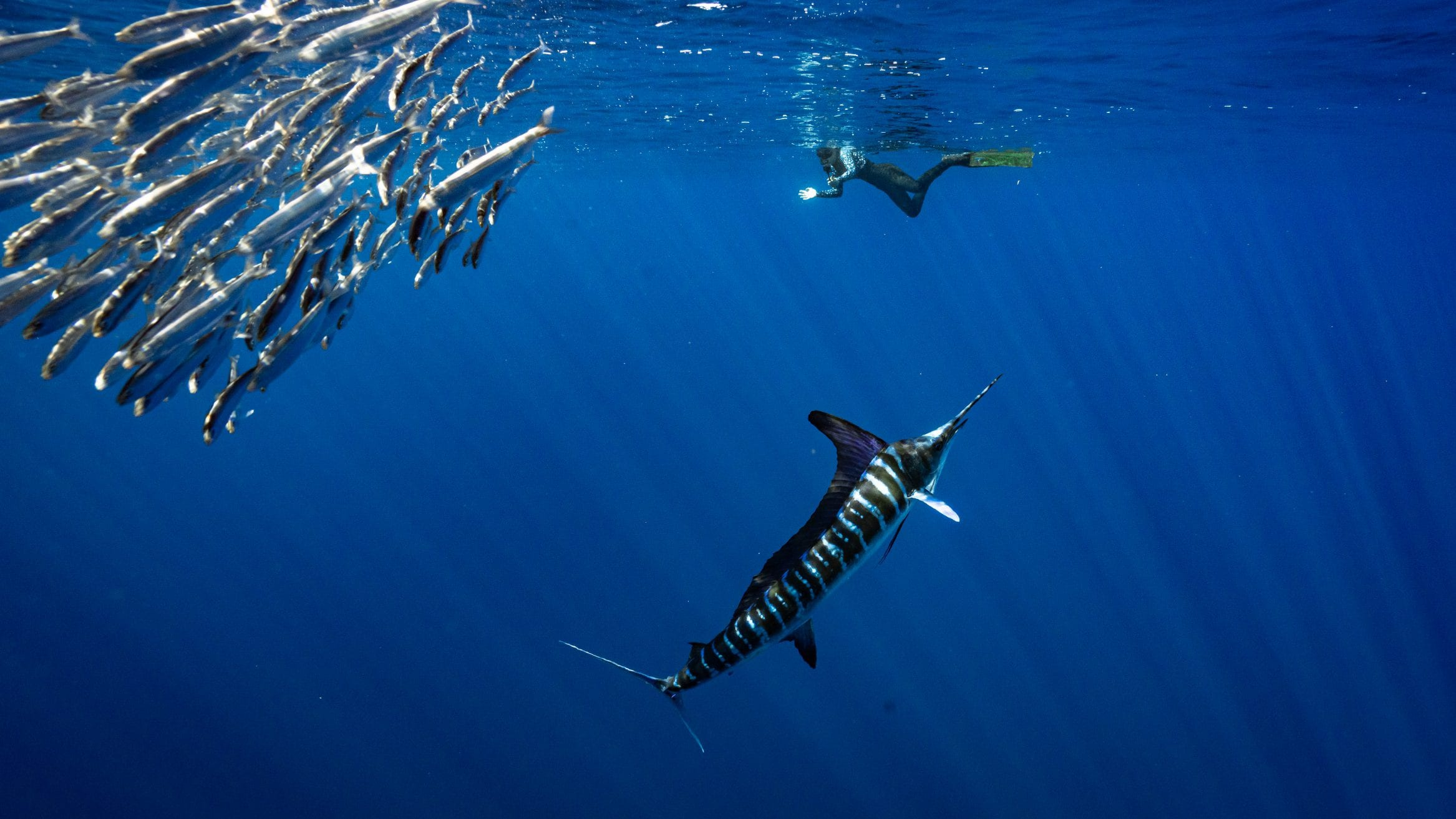 Chasing lightning: The striped marlin of Baja California - Oceanographic