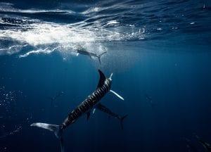 Striped marlin Jay Clue hunting