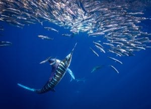 Striped marlin Jay Clue bait ball