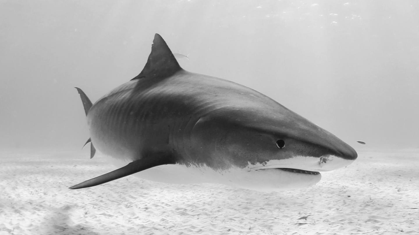 MPAs for migratory shark species caribbean