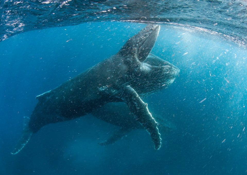 Alastair-Fothergill-Our-Planet-STEVE-BENJAMIN-humpback-wjales