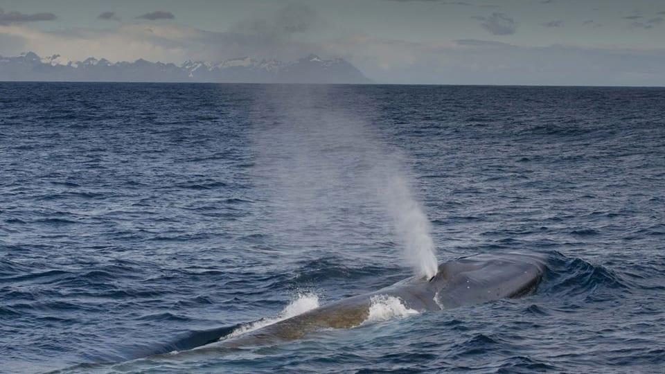 blue whales South Georgia