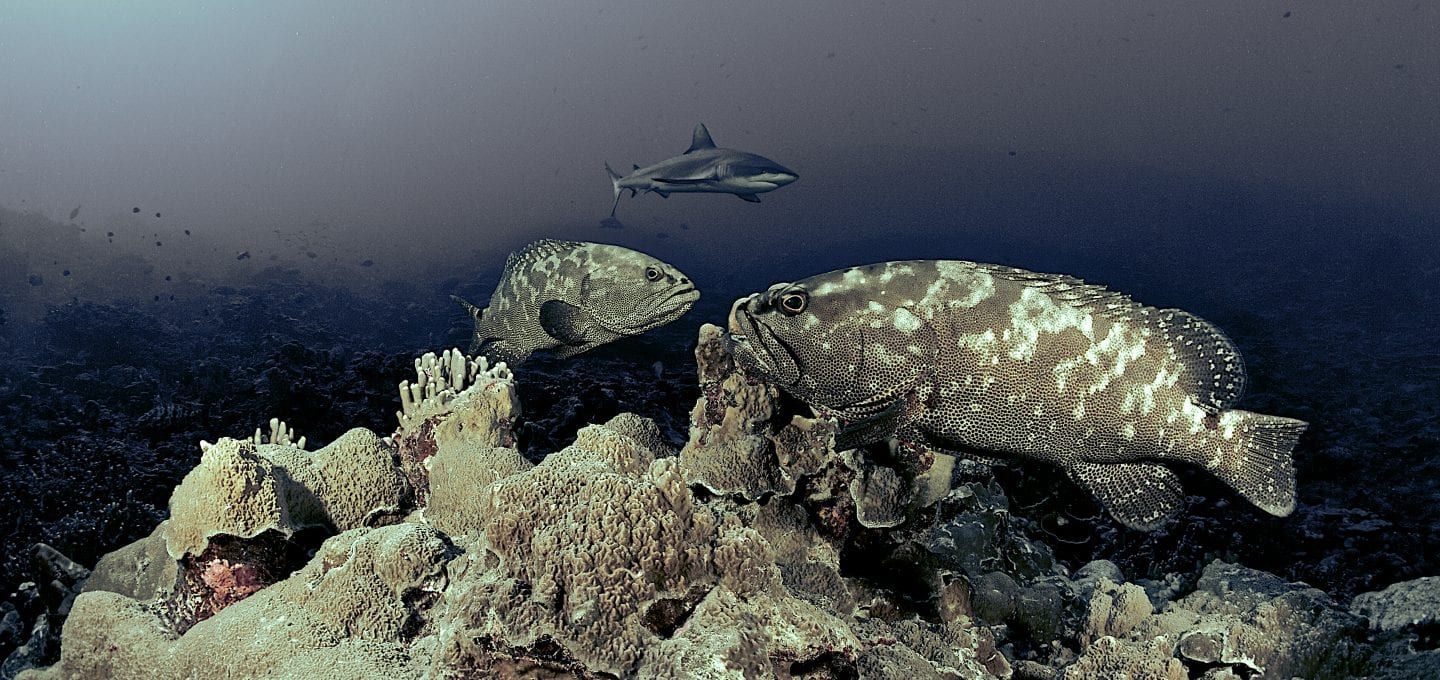 Shark and groupers, by Mr Marc Hayek
