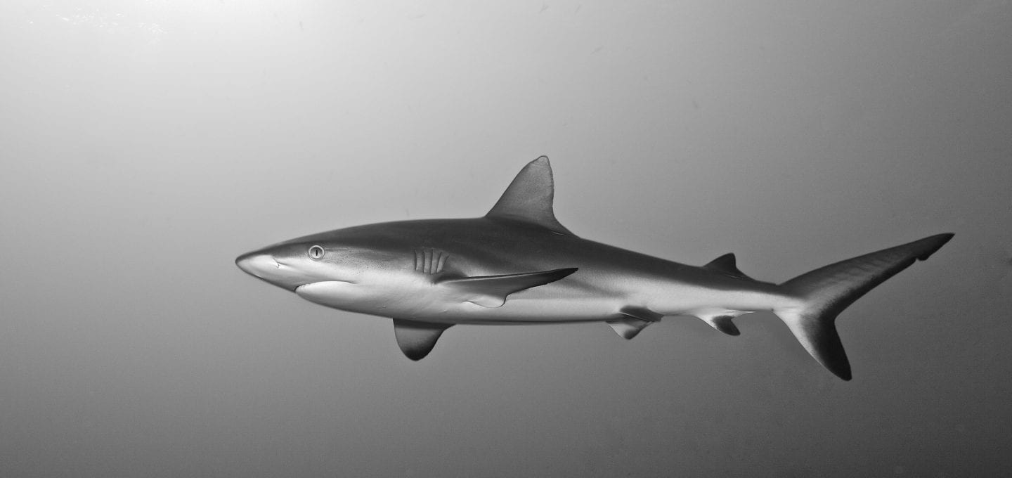 Grey reef shark, by Mr Marc Hayek