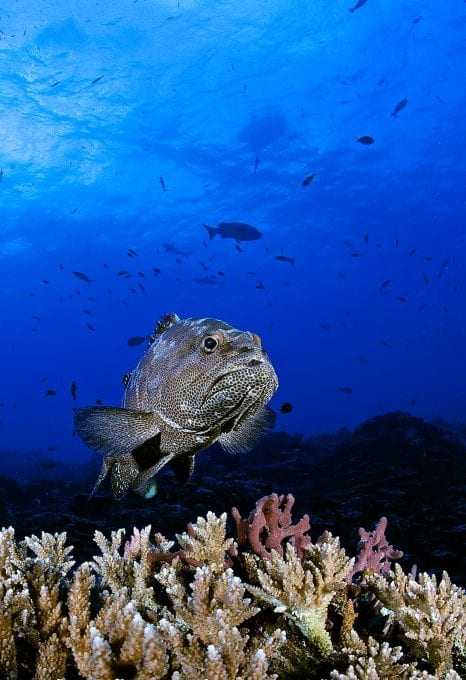 Grouper, by Mr Marc Hayek