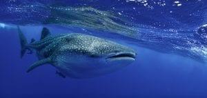 saint helena whale shark