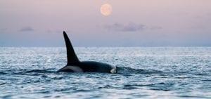 whale watching Norway Tromsø orca