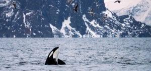whale watching Norway Tromsø