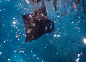 manta ray Bali plastic pollution ocean