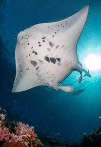 manta ray Bali photo-ID