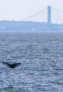 Marine mammals gotham whale artie raslich