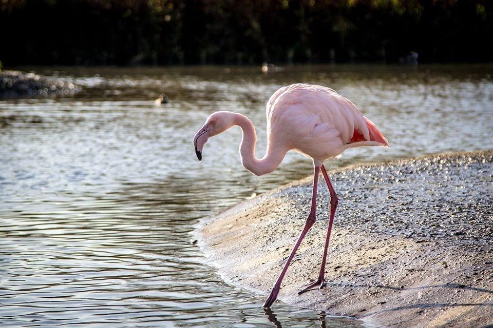 flamingos study Exeter Slimbridge