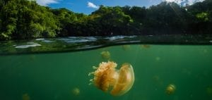 Simon Lorenz underwater photography Paulau jellyfish