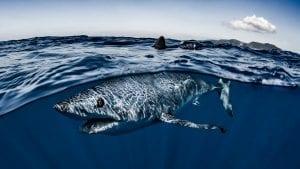Mako sharks Atlantic fisheries
