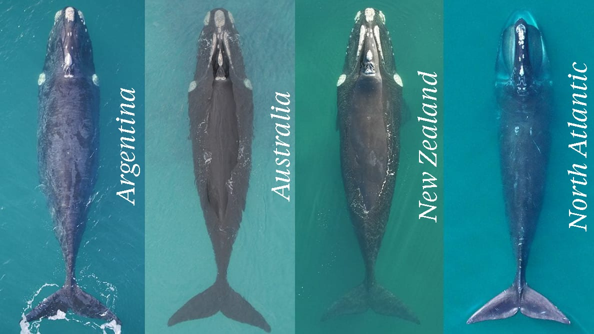 North Atlantic Right Whales vs Southern counterparts WHOI