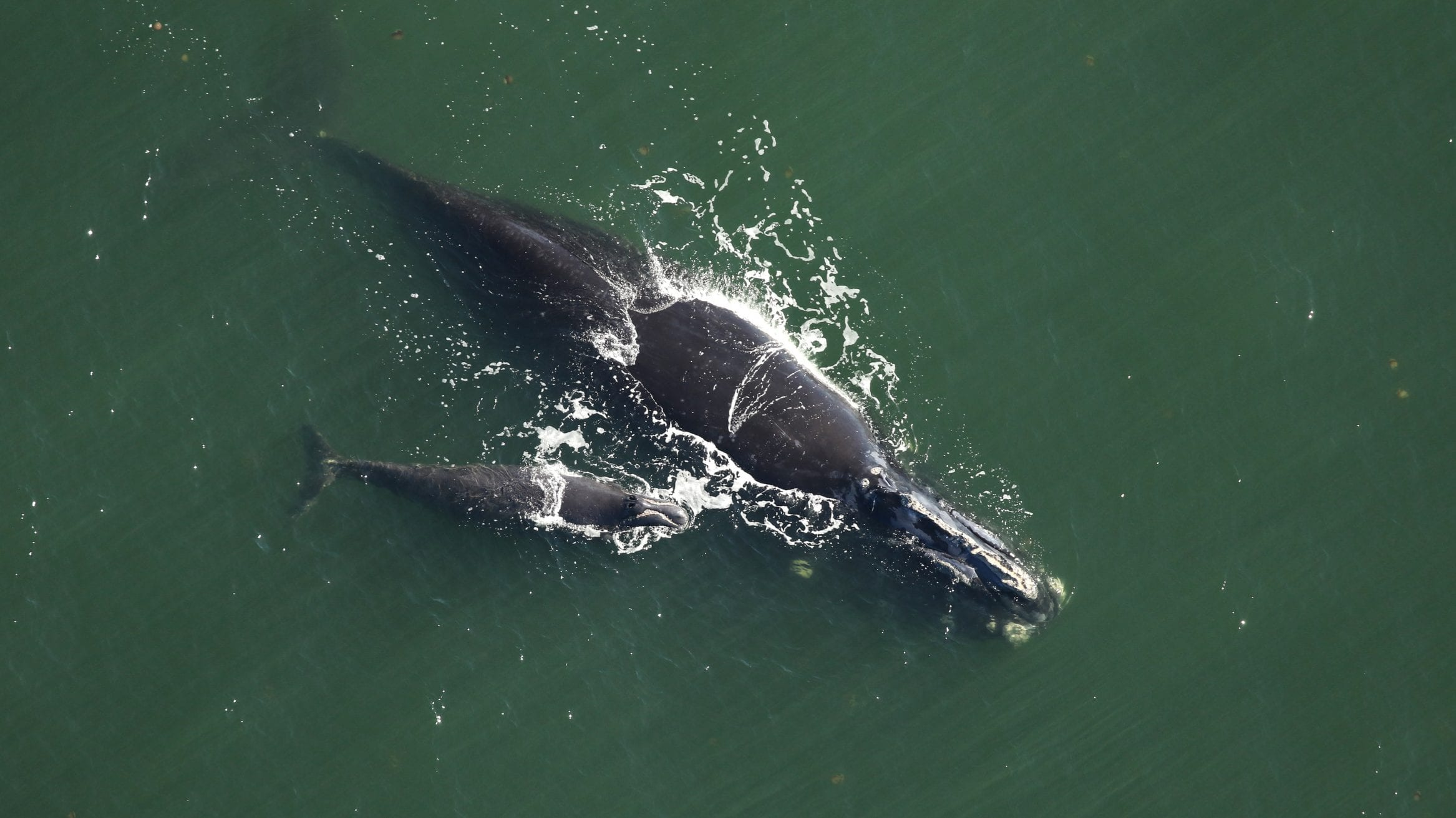North Atlantic Right Whales vs Southern counterparts WHOI Florida