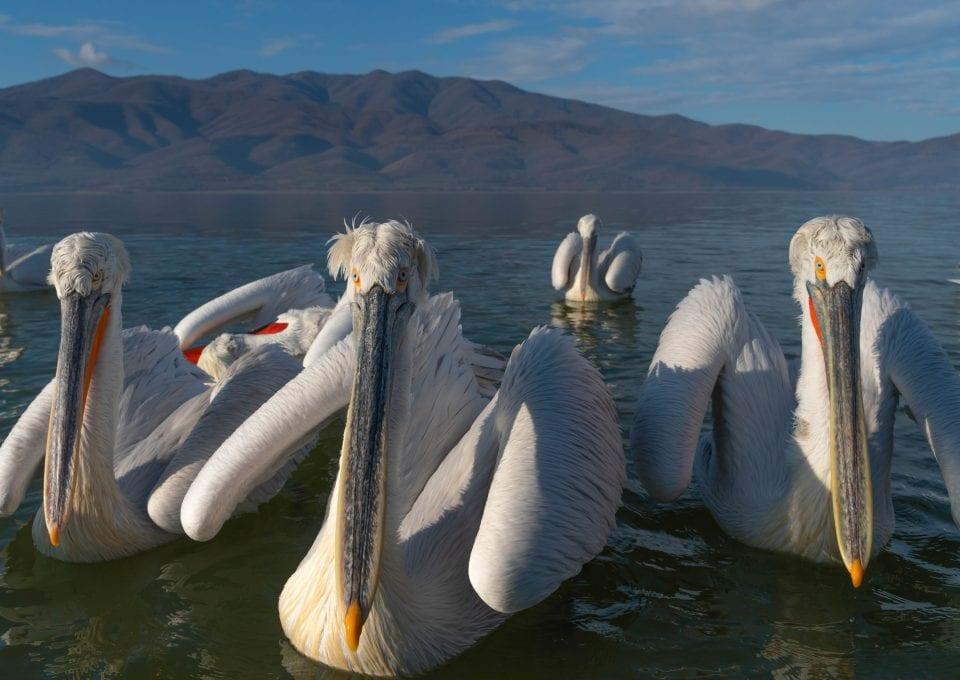 Dalmatian pelicans lake kerkini