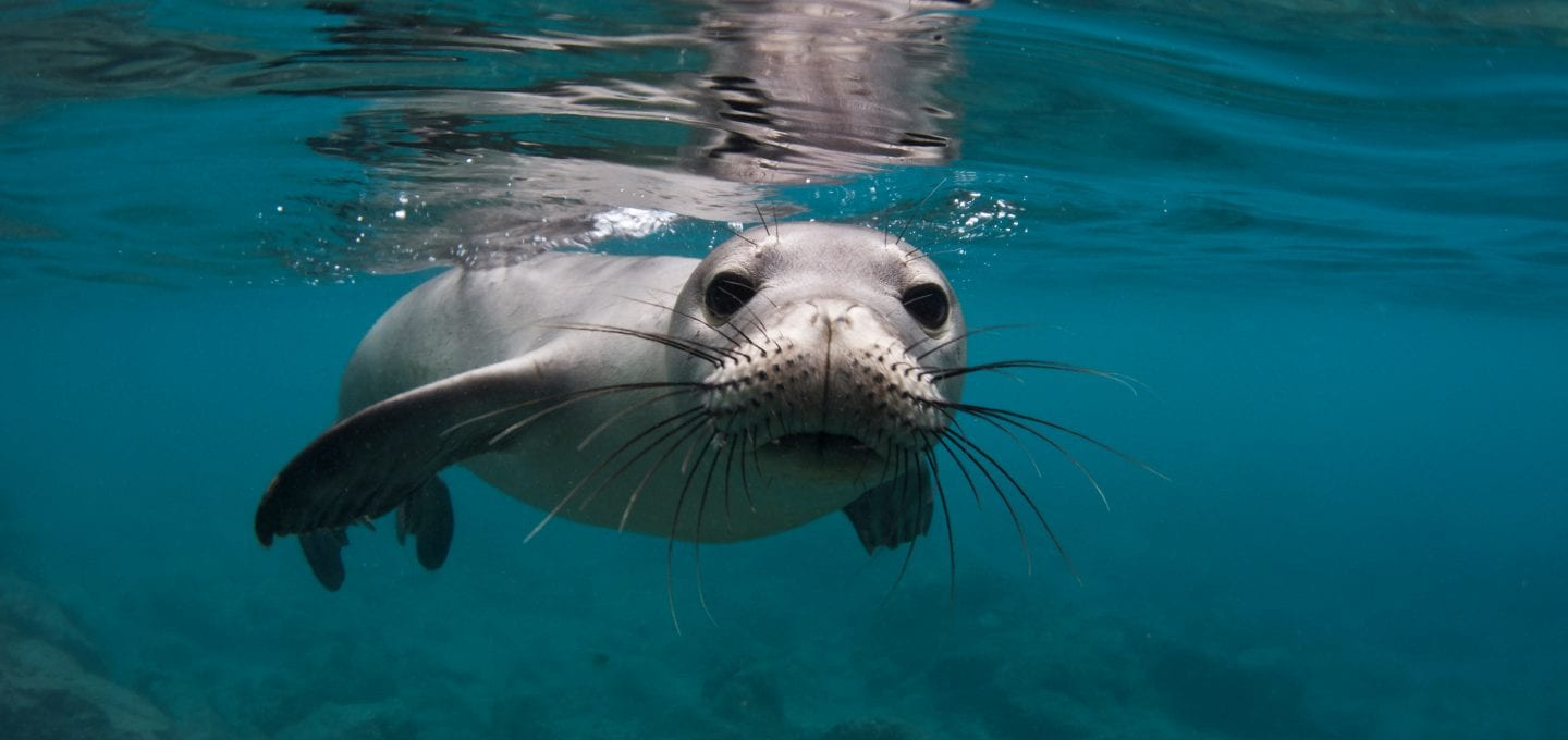 Underwater photographer Amanda Cotton monk seal