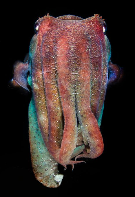 Underwater photographer Amanda Cotton cuttlefish
