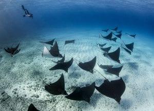Underwater photographer Amanda Cotton rays