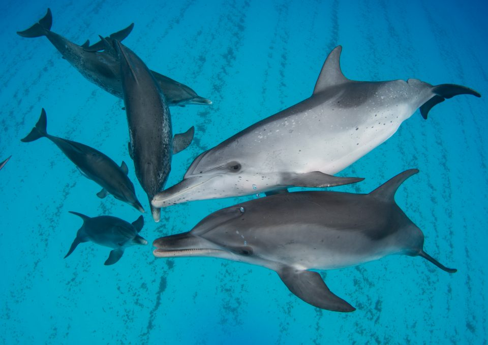Underwater photographer Amanda Cotton dolphins