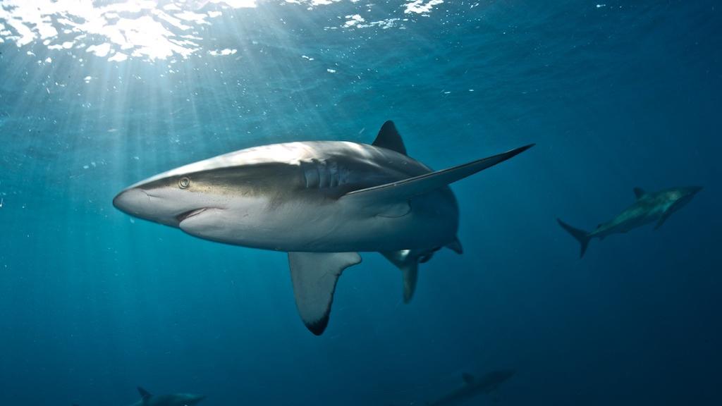 shark fins hong kong wwf silky
