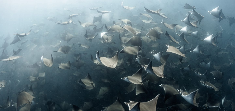 Mobula rays Jay Clue underwater photographer