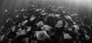 Mobula rays Jay Clue ocean photo