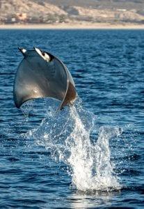 Mobula rays Jay Clue leaping