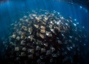 Mobula rays Jay Clue underwater photo