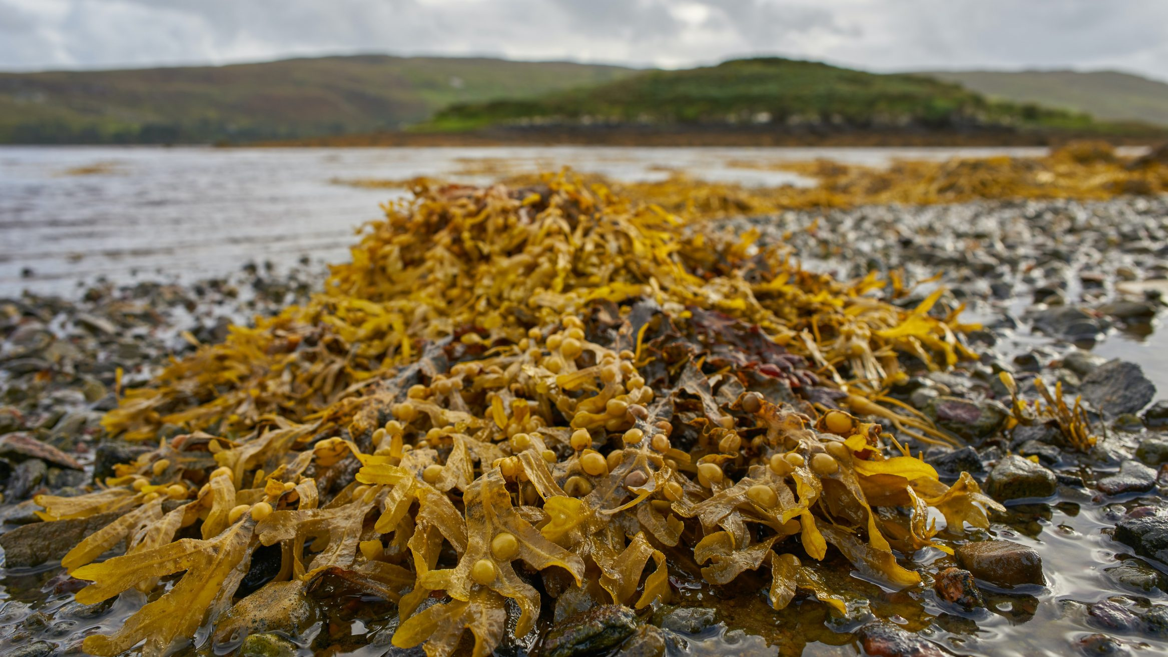 seaweed biofuels