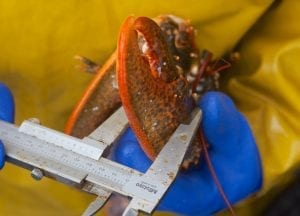 Jersey fishermen lobster