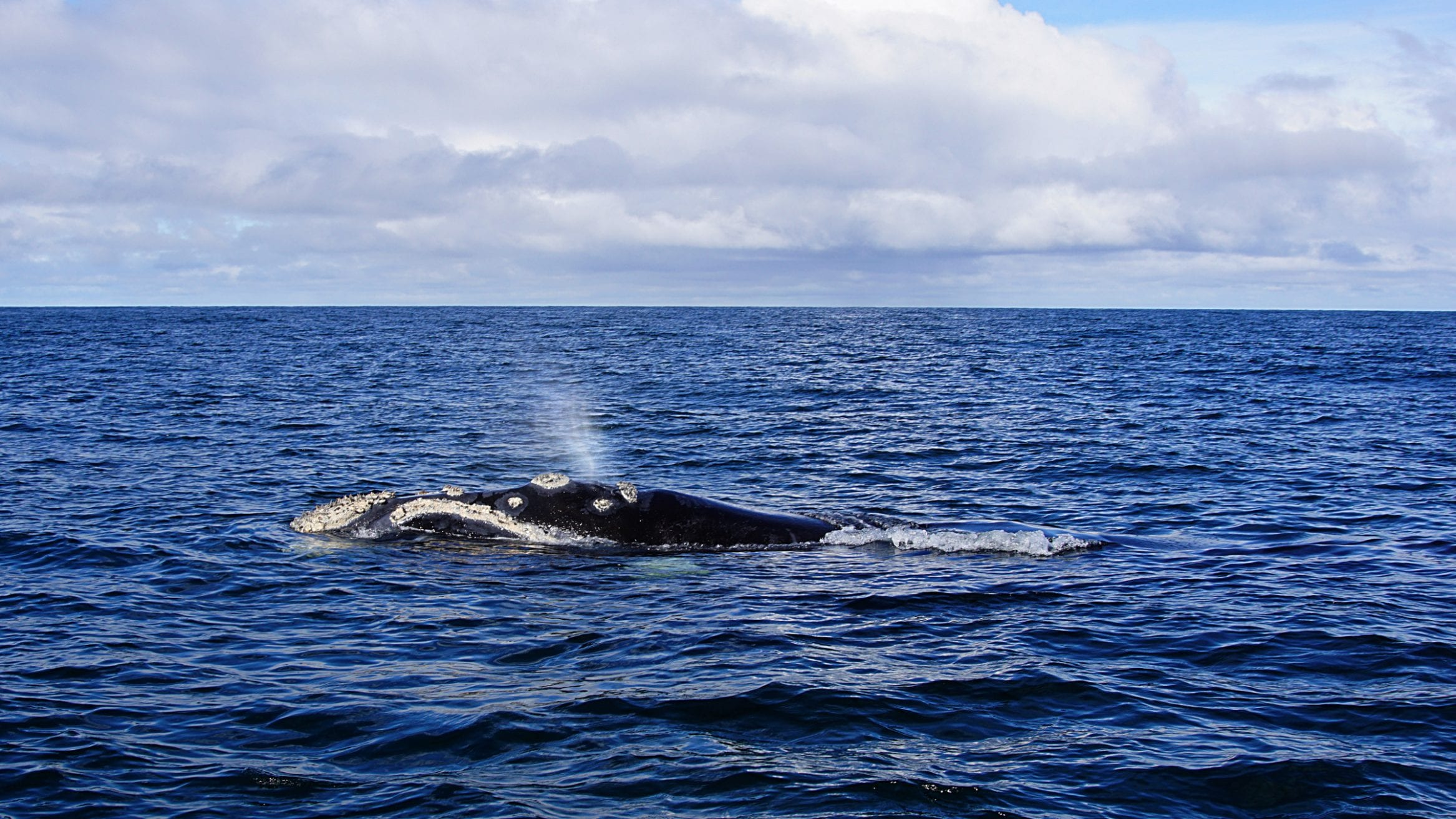 southern right whale BAS