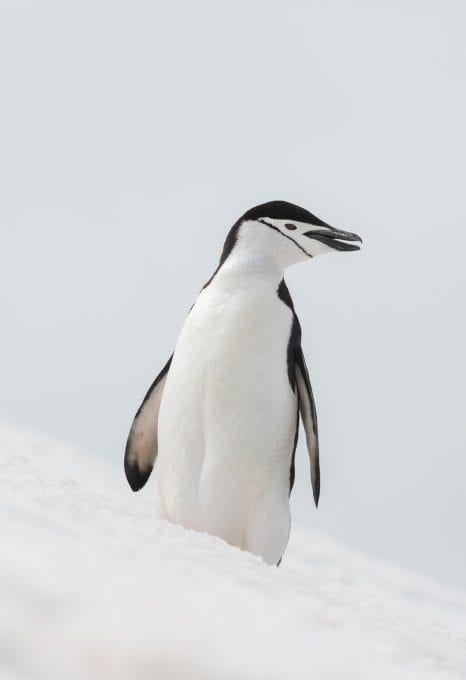 Greenpeace Pole to Pole Penguins Antarctica chinstrap penguin