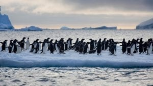 Greenpeace Pole to Pole Chinstrap Penguins sea ice