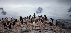 Greenpeace Pole to Pole Chinstrap Penguins colony