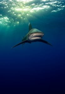 Oceanic whitetip shark Joe Daniels