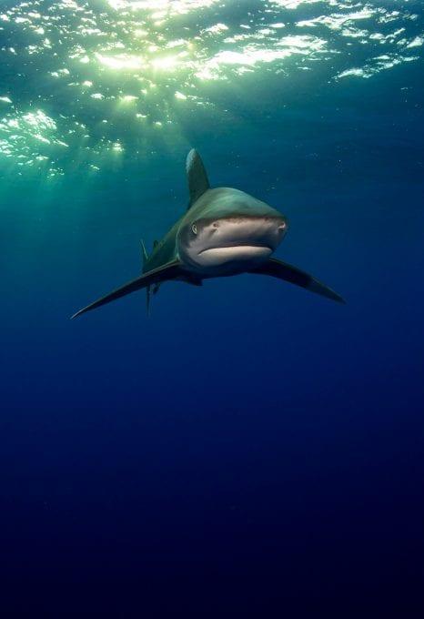 Oceanic whitetip shark Joe Daniels