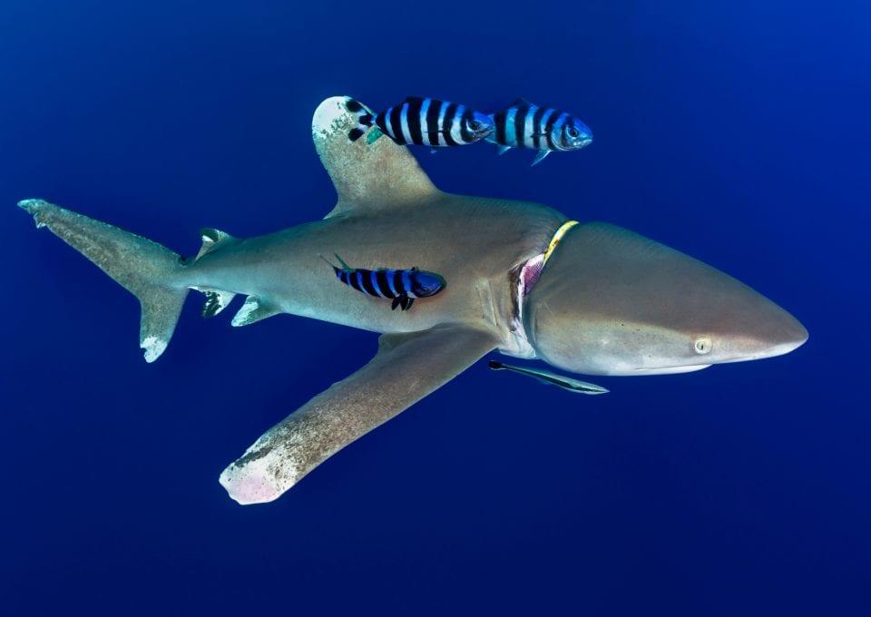 Oceanic whitetip Joe Daniels entanglement