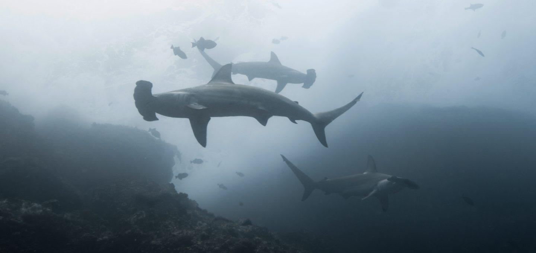 cocos island costa rica sharks