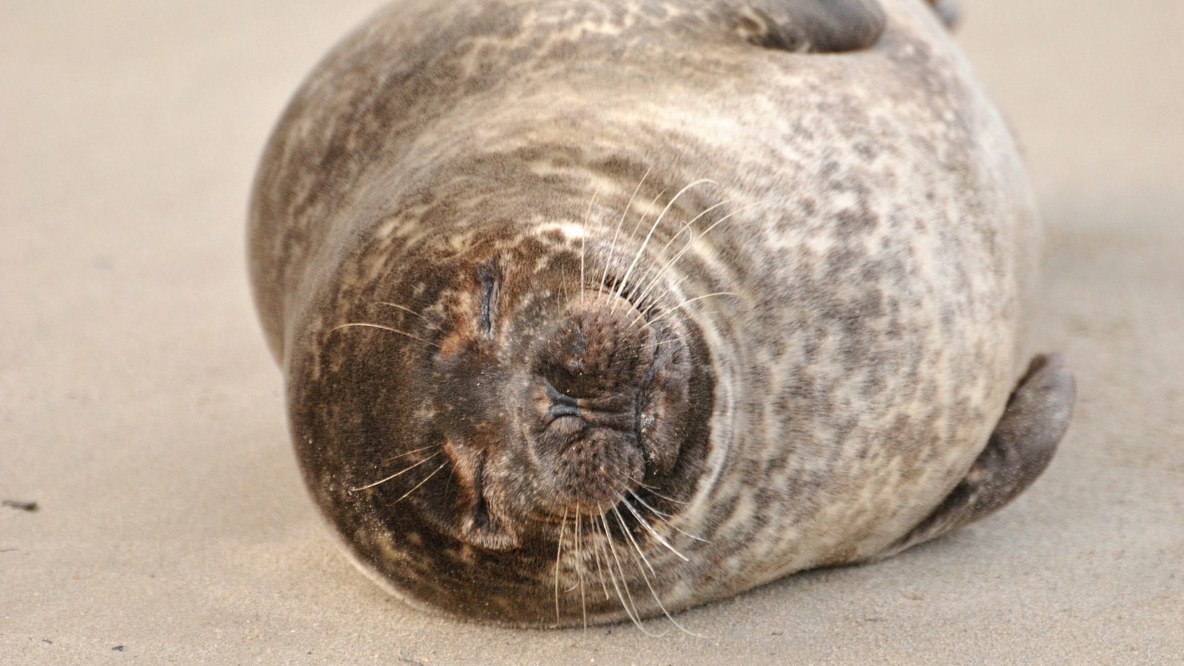 scottish seals