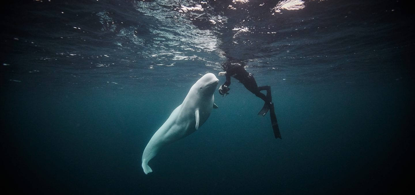 Hvaldimir Fred Buyle Norway beluga whale underwater photographer