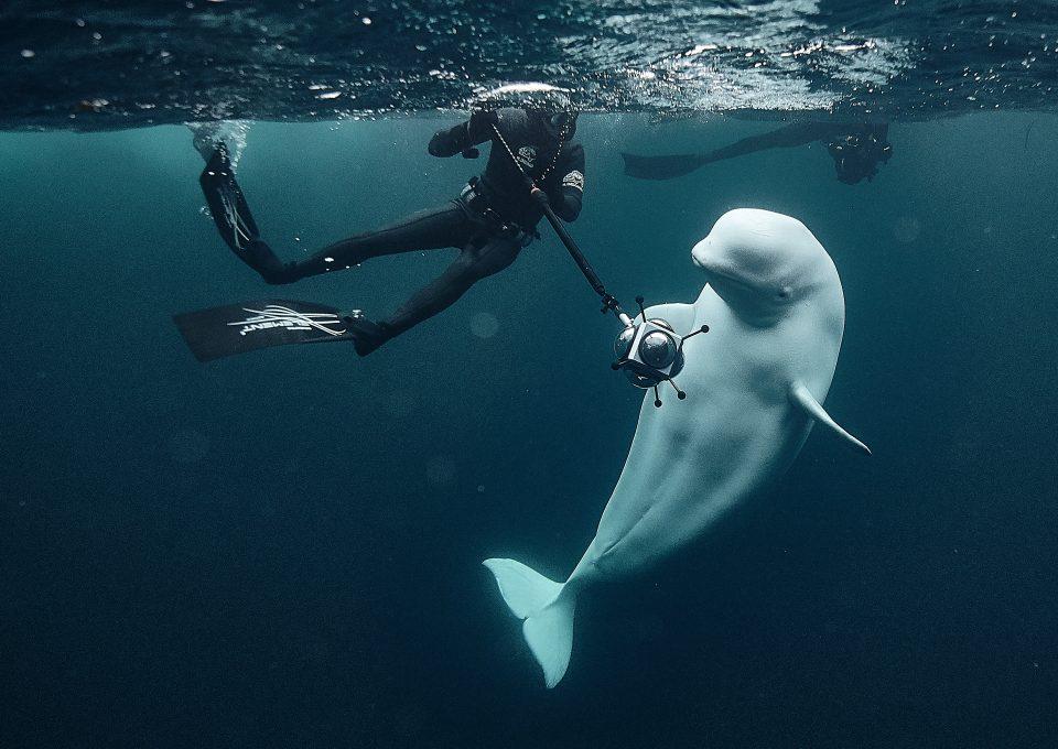 Hvaldimir Fred Buyle Norway beluga whale