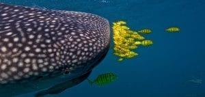 whale sharks Djibouti pilot